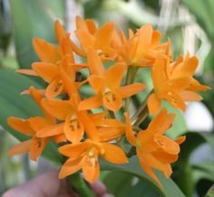 New Spring Cattleya List from Waldor Orchids