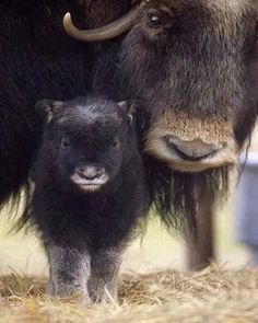 Closeup Of Muskox Cow WCalf Captive Alaska Wildlife Conservation Center Sc Alaska Spring Canvas Art - Doug Lindstrand Design Pics x Nature Animals, Animals And Pets, Baby Animals, Cute Animals, Wild Animals, Wildlife Nature, Funny Animals, Beautiful Creatures, Animals Beautiful