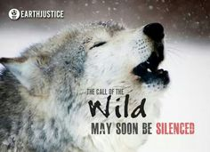 The call of the wild may soon be silenced. Save the Wolves!!!