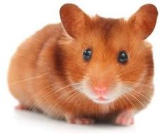 I'm selling Syrian Hamster - £8.00 #onselz
