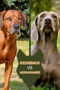 Today we're going to take a look into what really separates the amazing Rhodesian Ridgeback and the Weimarmaner. So let's jump straight in, and first we will compare the history of these fascinating breeds. Best Guard Dog Breeds, Best Guard Dogs, Best Dogs, German Dog Breeds, Large Dog Breeds, Large Dogs, Rhodesian Ridgeback, Weimaraner, Lion Dog