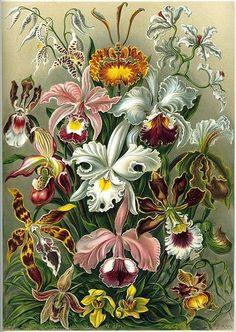 Kunstformen der Natur (1904), plate 74: Orchidae. By Ernst Haeckel.