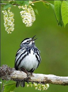 North American Black and White Warbler