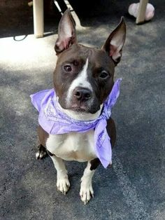 TO BE DESTROYED 9/5/14 Manhattan Center -P  My name is SMOKEY. My Animal ID # is A1011703. I am a female brown and white pit bull. The shelter thinks I am about 3 YEARS old.  I came in the shelter as a SEIZED on 08/23/2014 from NY 10469, owner surrender reason stated was STRAY.https://m.facebook.com/photo.php?fbid=860290837317130&id=152876678058553&set=a.611290788883804.1073741851.152876678058553&source=43&ref=stream