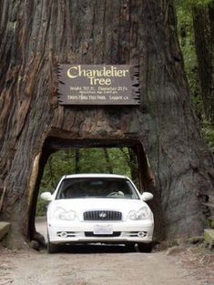 california redwoods - Google Search