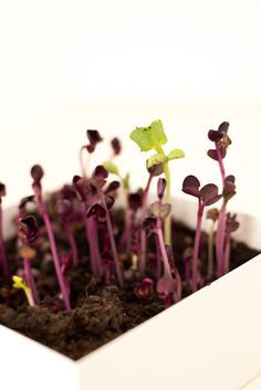 Microgreens anbauen. Hier findest du alles über Microgreens. Asparagus, Hair Accessories, Vegetables, Plants, Indoor Gardening, Beauty, Food, Medium, Google