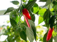 Serrano chili pepper. Capsicum annuum.