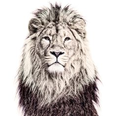 Lion -This printed magnetic wallpaper is a nice alternative to the classic magnetboard- by www.GroovyMagnets.com #tiBiHantiBiHan