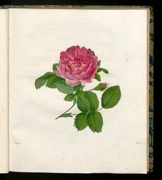 Die Frankfurter Rose. Rosa Francfurtensis.