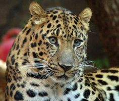 Panthera pardus orientalis (Panthère de l'Amour ou panthère de Chine- il en reste moins d'une centaine dans le monde)