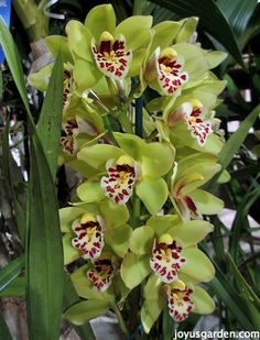 I love green flowers - these Cymbidiums are gorgeous.