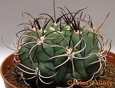 gymnocalycium saglione Cactus Gallery