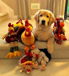 Moose ~ Golden Retriever Pup and his turkeys.