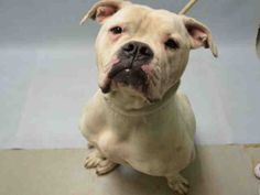 **OWNER ARREST** - SNOW - #A1058845 - Urgent Brooklyn - FEMALE WHITE AMER BULLDOG MIX, 1 Yr 6 Mos - STRAY - HOLD FOR ID Reason OWN ARREST - Intake 11/24/15 Due Out 11/27/15