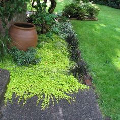 in dry shade : Golden creeping Jenny with spiky black mondo grass helps suppress weeds.