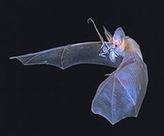 Bat flying picture