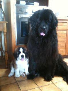 Saint Bernard puppy & Newfoundland - a perfect combination