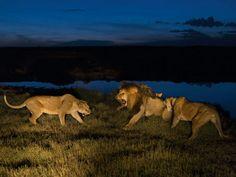 Lions.. Rugido