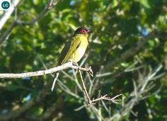 https://www.facebook.com/WonderBirdSpecies/ Timor figbird/Green figbird (Sphecotheres viridis); Endemic to islands of Timor and Rote; IUCN Red List of Threatened Species 3.1 : Least Concern (LC)(Loài ít quan tâm) || Chim Sung Timor/Chim Sung lục; Loài đặc hữu đảo Timor và Rote; Họ Vàng Anh-Oriolidae (Old World Orioles).