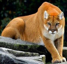 Formidable cougar (mountain lion) with an intense gaze.
