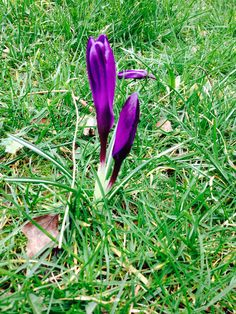 Crocus on the lawn spring 2015