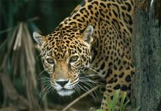 Nature's Third Largest Cat; the Jaguar. Support their survival today.