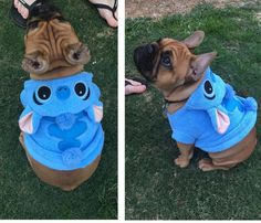 "Source: batpigandme.tumblr.com  -archie.frenchie on Instagram ""Mum thinks I look too cute in this stitch costume...I'm still not sure how I feel about it"""