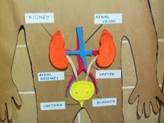 Excretory System made by kids