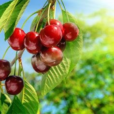 Cherry Fragrance Oil | Natures Garden Scents #cherryfragrance #fruitscent