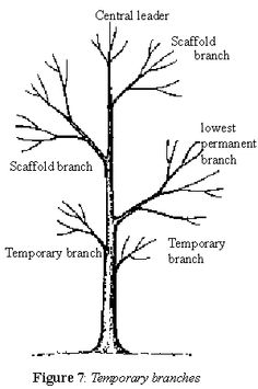 Pruning Deciduous Shade Trees
