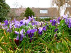 maarts viooltje in ons gazon