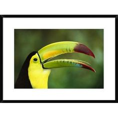 """Global Gallery 'Keel-Billed Toucan Portrait' Framed Photographic Print Size: 22"""" H x 30"""" W x 1.5"""" D"""