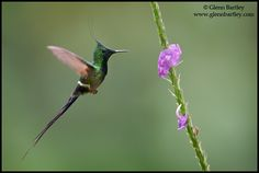 Nature Photography by Glenn Bartley  Wire Crested Thorntail