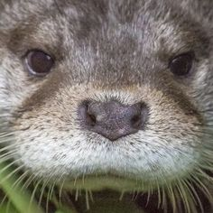 Closeup of otter looking very serious - August 15, 2013