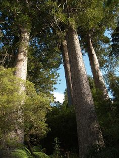 Magnificent Native Giants of NZ, Kauri Trees, Northland, New Zealand
