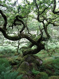Wistman's Wood in the ancient high-level woodlands of Dartmoor in Devon, southwest England