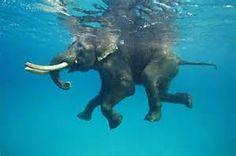 Elephants swimming - Bing images