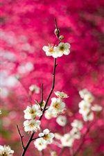 白い梅の花、小枝、ピンクの背景 iPhoneの壁紙