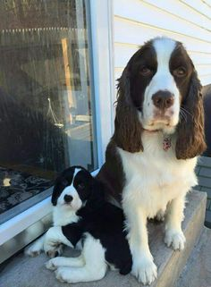 Springer Dog, Springer Spaniel Puppies, English Springer Spaniel, Cocker Spaniel, Spaniel Puppies For Sale, Cute Dogs And Puppies, I Love Dogs, Doggies, Cute Dogs Breeds