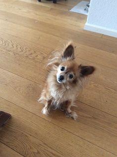 Marusja Russian Toy terrier | Pawshake