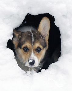 Fiona In the Snow Den: adorable Pembroke Welsh Corgi   Flickr - Photo Sharing! by wplynn