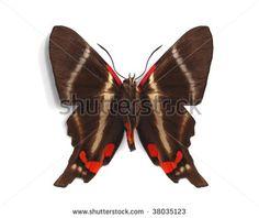 Riodinidae Fotos, imagens e fotografias Stock   Shutterstock