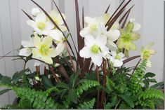 Jacob: new Gold Collection of hellebores have more upward-facing flowers
