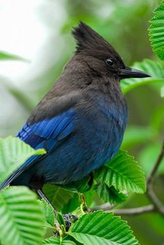 Stellers Jay by wild prairie man on Flickr. The Steller's Jay (Cyanocitta stelleri) is a jay native to western North America, closely related to the Blue Jay