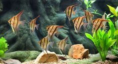 fish for fresh water aqariums   freshwater tropical fish buy tropical fish online fish compatibility