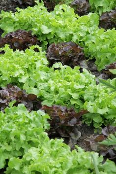 lettuce! all kinds and colors but cut often or it will go to seed quickly!