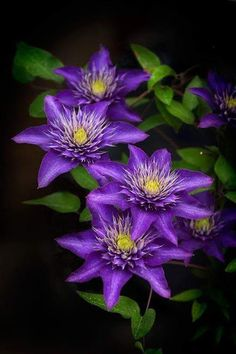 Beautiful purple flowers - look like clematis Exotic Flowers, Amazing Flowers, Purple Flowers, Beautiful Flowers, Beautiful Gorgeous, Clematis Flower, Clematis Vine, Purple Clematis, Types Of Flowers