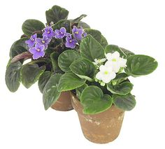 African Violet Care | Grow Healthy African Violets