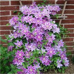 Japanese Garden Plants Names   Клематис гибридный «Nelly Moser»