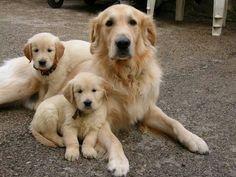 sweet Golden Retriever family <3 <3 <3